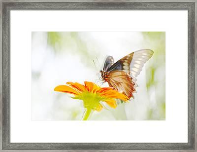 Black Butterfly In Motion II Framed Print by Olivia Novak