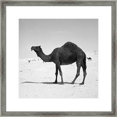 Black Camel In Qatar Framed Print by Paul Cowan