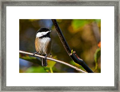 Black Cap Chick-a-dee Framed Print