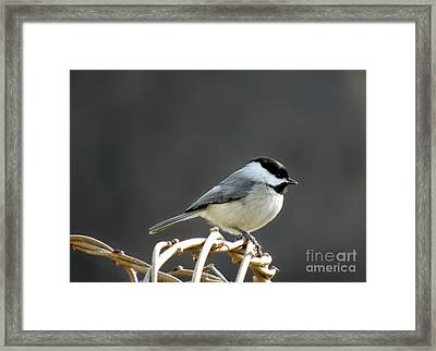 Framed Print featuring the photograph Black-capped Chickadee by Brenda Bostic