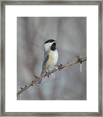 Black Capped Chickadee Calling Framed Print by Daniel Behm