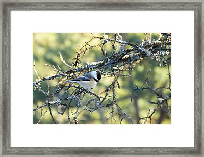 Black Capped Chickadee Framed Print