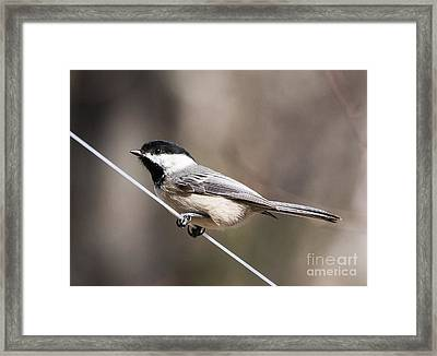 Black-capped Chickadee Framed Print by Edward Fielding