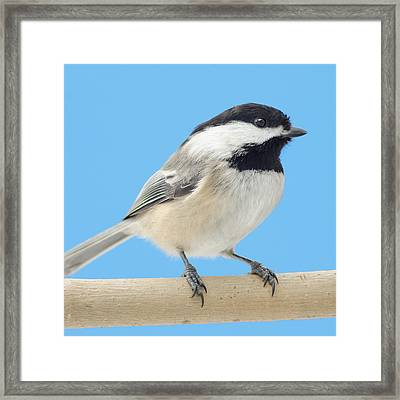 Black-capped Chickadee Framed Print by Jim Hughes