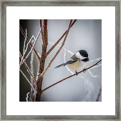 Black Capped Chickadee Framed Print by Paul Freidlund