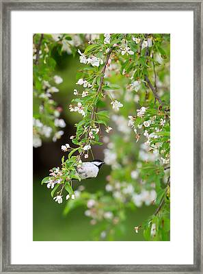 Black Capped Chickadee Portrait Framed Print by Bill Wakeley