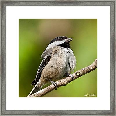 Black Capped Chickadee Singing Framed Print
