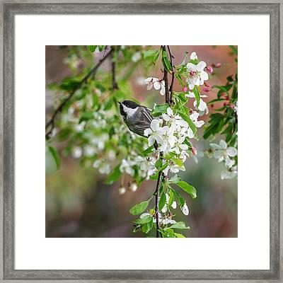 Black Capped Chickadee Square Framed Print