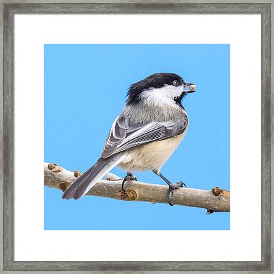 Black-capped Chickadee With Safflower Seed Framed Print by Jim Hughes