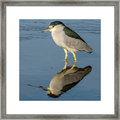 Black Capped Night Heron 6531 Framed Print
