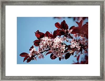 Black Cherry Plum (prunus Cerasifera) Framed Print by Maria Mosolova