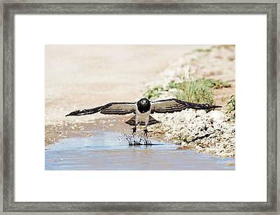 Black-chested Eagle Taking Flight Framed Print by Tony Camacho