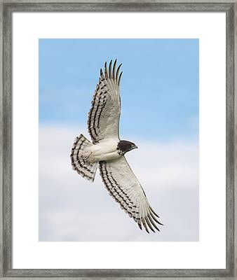 Black-chested Snake Eagle Circaetus Framed Print by Panoramic Images