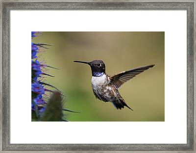 Black-chin Humming Bird Framed Print