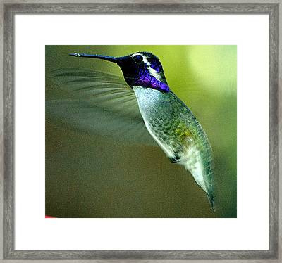 Framed Print featuring the photograph Black Chinned Male In Flight To Feeder by Jay Milo