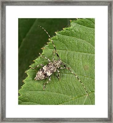 Black-clouded Longhorn Beetle Framed Print