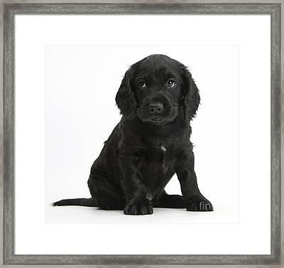 Black Cocker Spaniel Puppy Framed Print