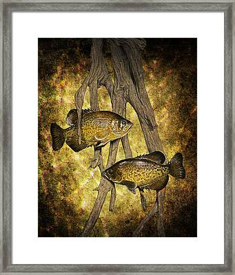 Black Crappies A Fish Image No 0143 Amber Version Framed Print by Randall Nyhof