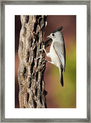 Black-crested Titmouse (baeolophus Framed Print