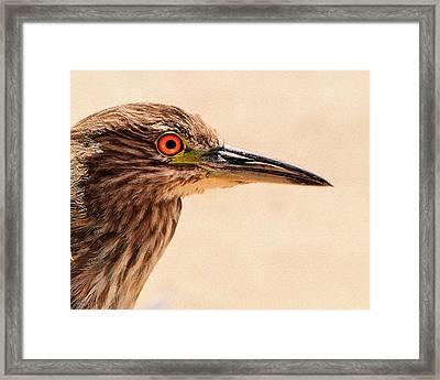 Black Crowned Night Heron 4 Framed Print