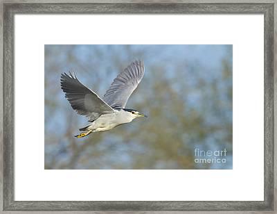Black- Crowned Night Heron Framed Print by Bryan Keil