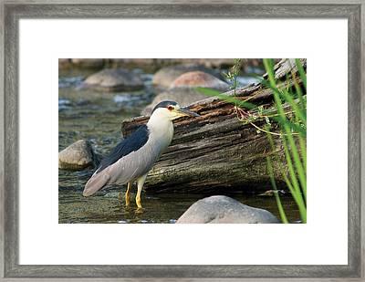 Black-crowned Night-heron Framed Print
