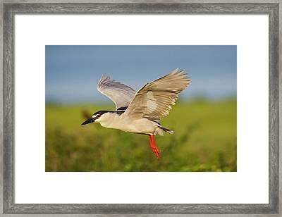 Black-crowned Night-heron (nycticorax Framed Print