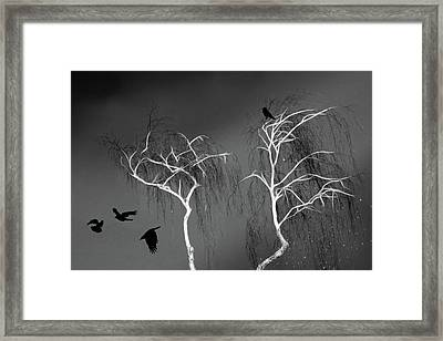 Black Crows - White Trees  Framed Print