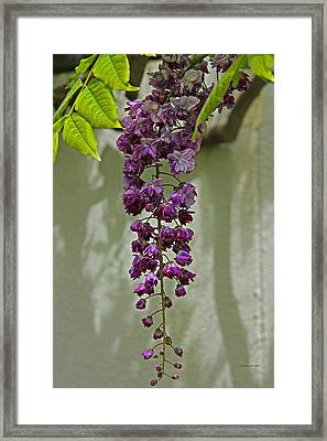 Black Dragon Wisteria Framed Print by Suzanne Stout
