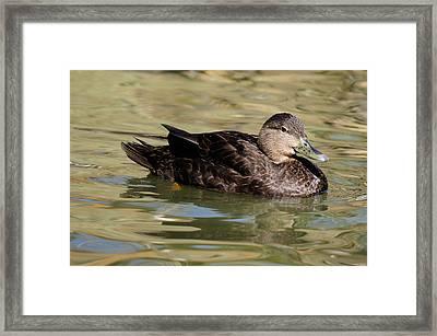 Black Duck Hen Framed Print