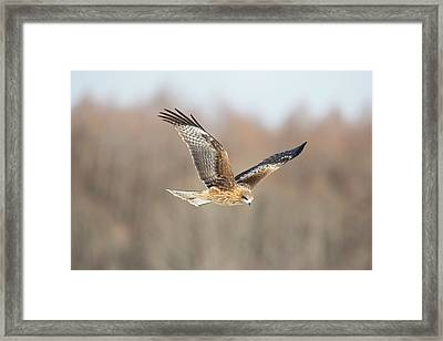 Black-eared Kite In Flight Framed Print by Dr P. Marazzi