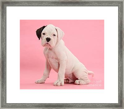 Black Eared White Boxer Puppy Framed Print by Mark Taylor
