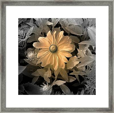 Black Eye Susan Framed Print