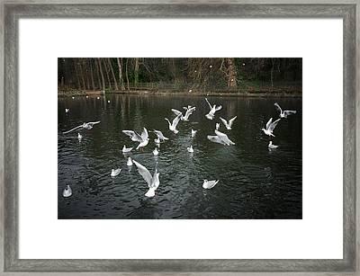 Black Eyed Gull Framed Print by Svetlana Sewell
