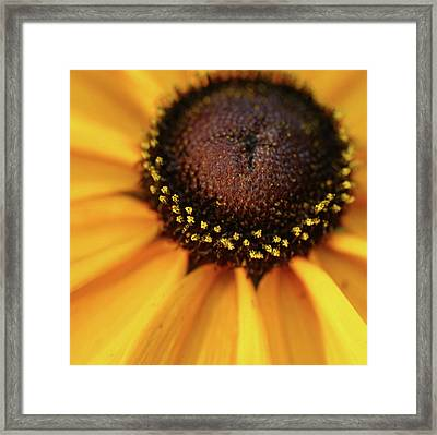 Black Eyed Susan Abstract Framed Print by Anna Miller