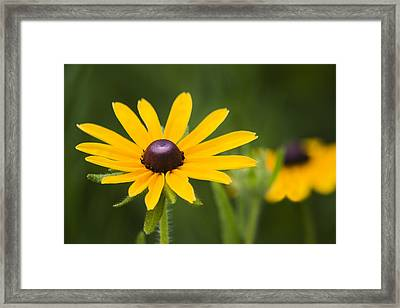 Black Eyed Susan Framed Print by Adam Romanowicz