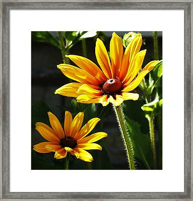 Framed Print featuring the photograph Black Eyed Susan by Al Fritz