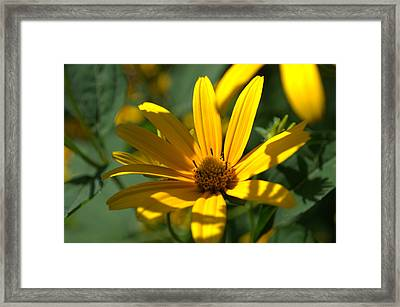 Framed Print featuring the photograph Black Eyed Susan by Cathy Shiflett