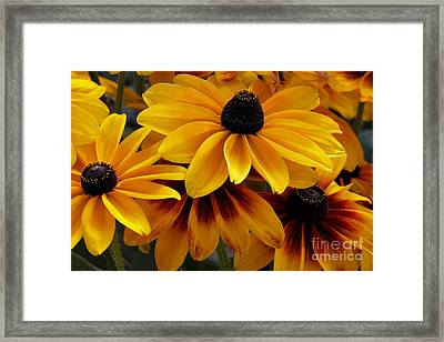 Black-eyed Susan Framed Print by Ivete Basso Photography