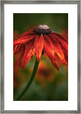 Framed Print featuring the photograph Black-eyed Susan by Jacqui Boonstra
