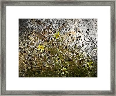 Black-eyed Susan On Rocks Framed Print