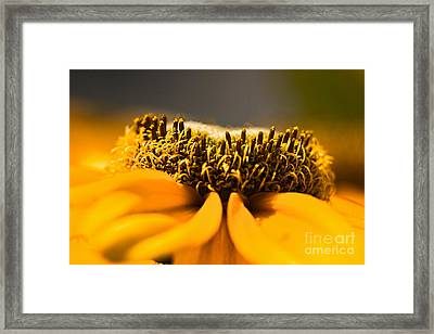 Black Eyed Susan Setting Seed Framed Print