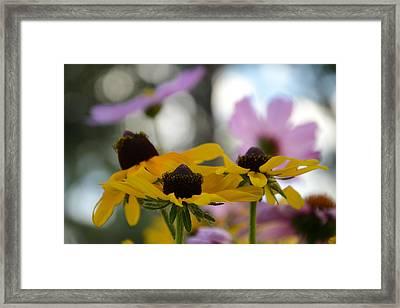 Black-eyed Susans In Focus Framed Print by Dakota Light Photography By Dakota