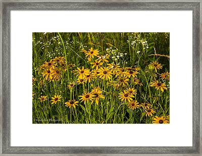 Black Eyed Susans Framed Print by Paul Herrmann