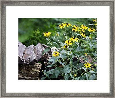 Black-eyed Susans Framed Print
