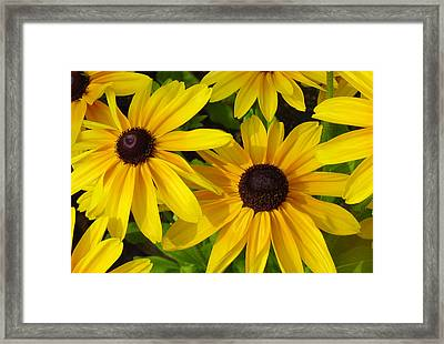 Black Eyed Susans Framed Print by Suzanne Gaff