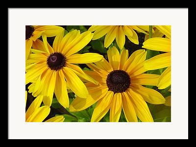 Black Eye Susan Framed Prints