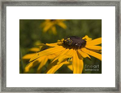 Black Eyed Suzy And Bee Framed Print