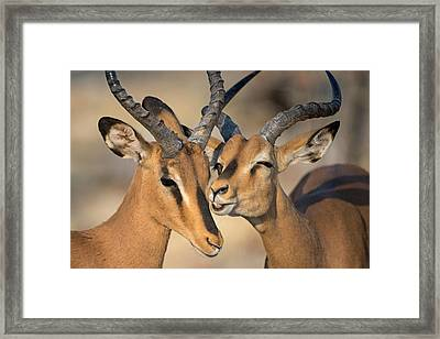 Black-faced Impalas Aepyceros Melampus Framed Print by Panoramic Images