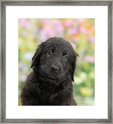 Black Flat Coated Retriever Puppy Framed Print by Mark Taylor